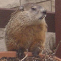 Chuck the Woodchuck, Punxsutawney Phil's Chicago cousin